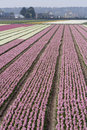 Hyacinth fields in the netherlands Royalty Free Stock Photo