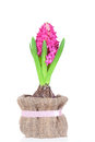 Hyacinth flower bulbs in pot isolated on white background Royalty Free Stock Photo
