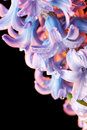 Hyacinth flower with drops of water beautiful close up Royalty Free Stock Images
