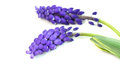 Hyacinth flowers Royalty Free Stock Photos
