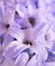 Hyacinth flowers Royalty Free Stock Photography