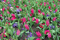 Hyacinth flowers garden field of pink blooming Royalty Free Stock Images