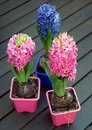 Hyacinth flowers on wooden table Stock Image