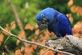 Hyacinth macaw Royalty Free Stock Photo