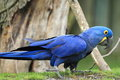 Hyacinth macaw the adult of on the grass Royalty Free Stock Photos