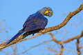 Hyacinth Macaw, Anodorhynchus hyacinthinus, big blue parrot sitting on the branch with dark blue sky, Pantanal, Bolivia, South Ame Royalty Free Stock Photo
