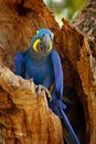 Hyacinth Macaw, Anodorhynchus hyacinthinus, blue parrot. Portrait big blue parrot, Pantanal, Brazil, South America. Beautiful rare Royalty Free Stock Photo