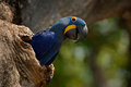Hyacinth Macaw, Anodorhynchus hyacinthinus, in tree nest cavity, Pantanal, Brazil, South America