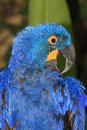 Hyacinth macaw portrait of a anodorhynchus hyacinthinus the bird is preening its feathers Royalty Free Stock Photography