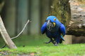 Hyacinth macaw the strolling on the grass Stock Photo