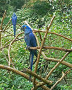 Hyacinth Macaw twins Stock Photos