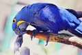 Hyacinth maccaw a big blue and yellow playing Royalty Free Stock Image