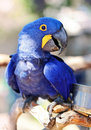 Hyacinth maccaw a big blue and yellow smiling Stock Images