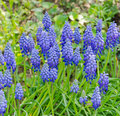 Hyacinth muscari armeniacum blue in full bloom Stock Images