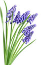 Hyacinth Muscari Flowers Stock Photos