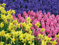 Hyacinth with Narcissus (Daffodil)  in front Stock Photo