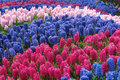 Hyacinth parterre the many flowers scientific name hyacinthus orientalis are blooming in Stock Photos
