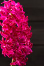 Hyacinth pink flower closeup macro on black background Stock Images