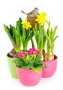 Hyacinth, pink primulas, yellow daffodils Stock Photography