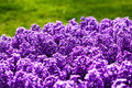 Hyacinth purple flowers spring flower close up Stock Photos