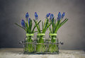 Hyacinth still life image with blue grape hycinth flowers in glass vases Royalty Free Stock Photos
