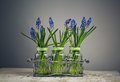 Hyacinth still life image with blue grape hycinth flowers in glass vases Royalty Free Stock Photography
