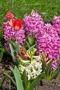 Hyacinth And A Tulip