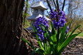 Hyacinth and vegitation early in the garden with a pagoda in the background Stock Photography
