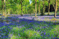 Hyacinthoides non scripta bluebells covering badby woods daventry northamptonshire Royalty Free Stock Images