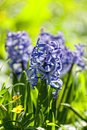 Hyacinths Royalty Free Stock Photography