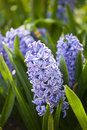 Hyacinths field full with in holland Stock Photo