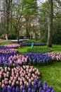 Hyacinths in the keukenhof pink and blue lisse Royalty Free Stock Photo