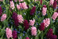 Hyacinths pink and purple combined with grape in the keukenhof in lisse Royalty Free Stock Photo