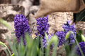 Hyacinths purple, spring time Royalty Free Stock Photo
