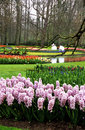 Hyacinths and Tulips at Keukenhof Stock Photo