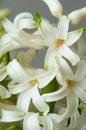 Hyacinthus flower blooms Royalty Free Stock Photo