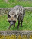 Hyaena brunnea portrait predatory zoo Royalty Free Stock Photography