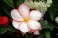Hybrid Begonia Tuberhybrida Fl...