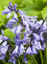 Hybrid bluebell blossoms closeup of flower Royalty Free Stock Image