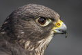 Hybrid falcon close up side view of the head of a showing eye and beak in profile looking to the right Royalty Free Stock Photos