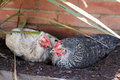 Hybrid hen having a dust bath on a warm day Stock Photos