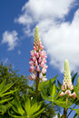 Hybrid Lupine Royalty Free Stock Photo