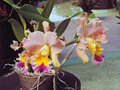 Hybrid orchids with mixed colors Stock Images