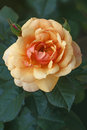 Hybrid rose flower rosa x close up image of single Royalty Free Stock Photos