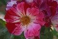Hybrid rose flower rosa x close up image of single Stock Images