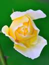 Hybrid Tea Rose Stock Photo