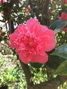 Hyde Hall Garden. Flowering camelia pink, April Royalty Free Stock Photo