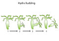 Hydra budding and design Royalty Free Stock Photography