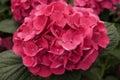 Hydrangea Bloom Royalty Free Stock Photo