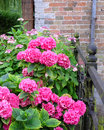 Hydrangea blooming pink in vintage setting selective focus Stock Images